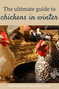 chickens in winter pin