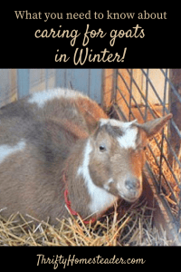 Goats in Winter pin