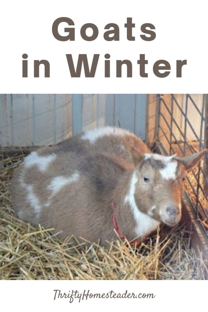 goats in winter