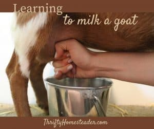 learning to milk a goat