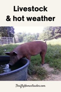 Livestock and hot weather