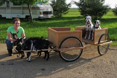 Working goat pulling cart