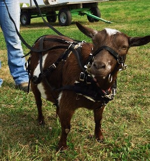 Working goat halter/harness training