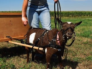 Weight training a work goat