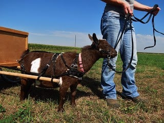 Working goat cart training tips