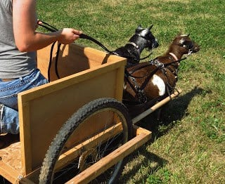 Team driving working goats