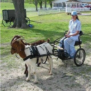 Nichole Hansen's goat driving cart
