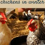 Chickens in winter pinterest