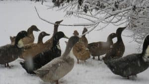 Khaki-Campbell-and-Blue-Swedish-ducks-in-snow