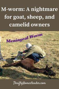meningeal worm