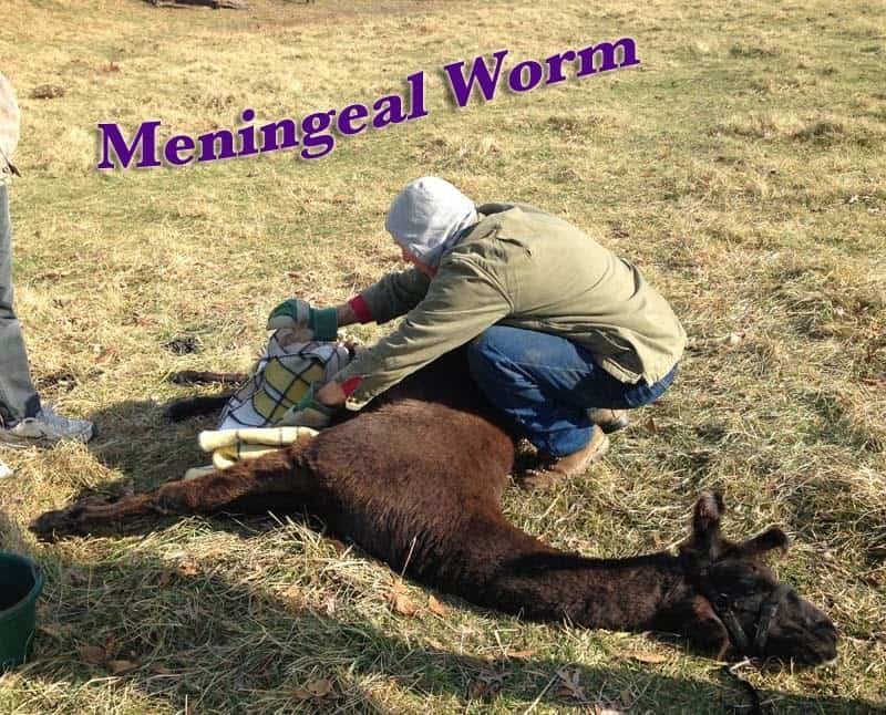 M-worm: A nightmare for goat, sheep, and camelid owners