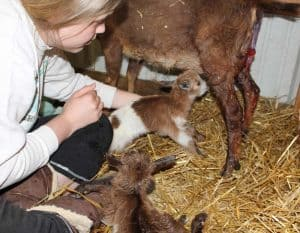 helping baby goat to nurse