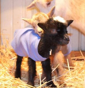 goat kid in coat made from sweatshirt sleeve