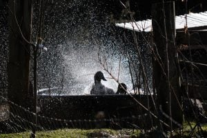 ducks-splashing-2