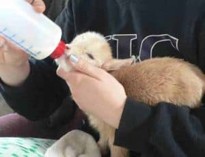 baby goat taking bottle