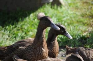 Two of Victoria's Khaki Campbell ducks