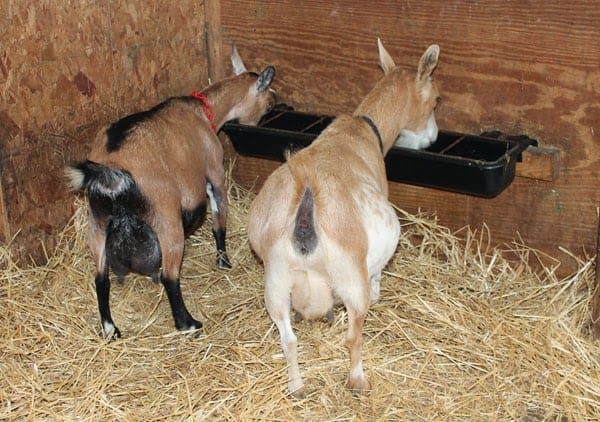 7 Things Goats Need The Thrifty Homesteader