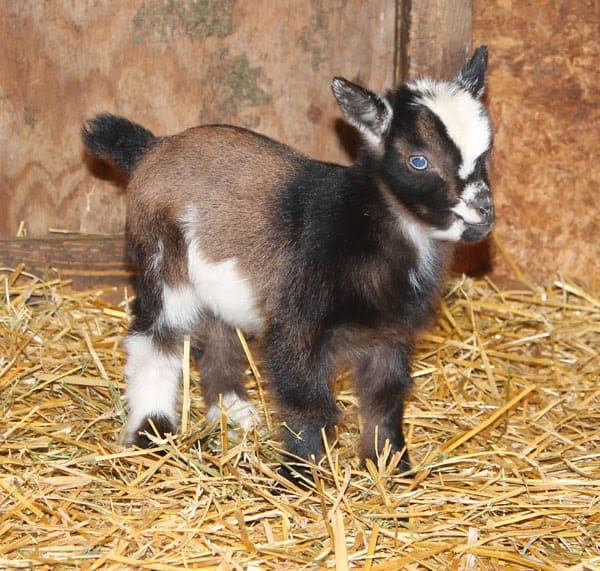 Want a pet goat, please think twice.