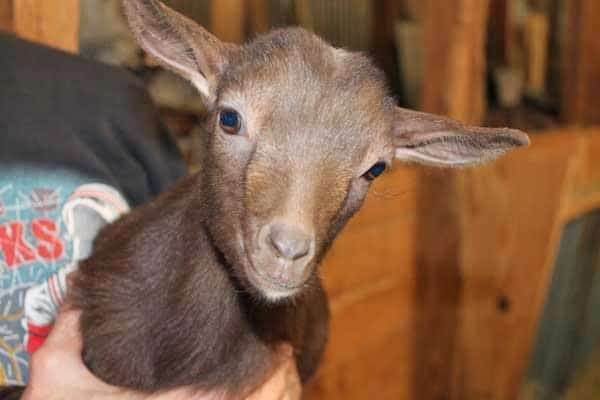 Baby pet goat
