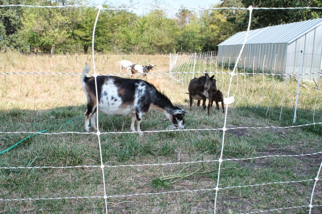 When goats attack…each other!
