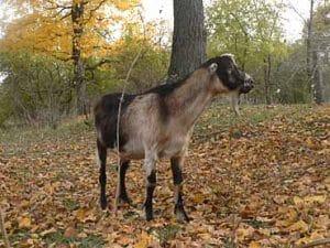 LaMancha buck