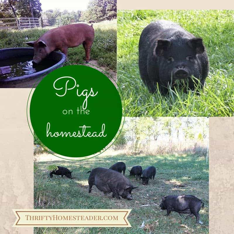 Pigs on the homestead