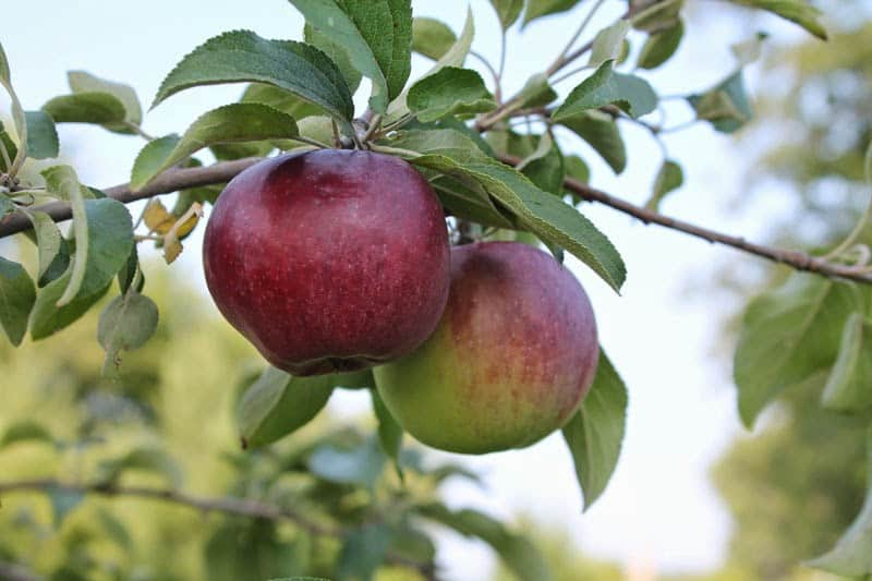 Apple trees, make your own caramel apple butter