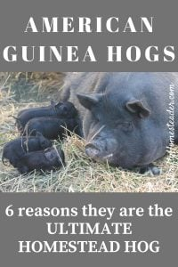 guinea hogs
