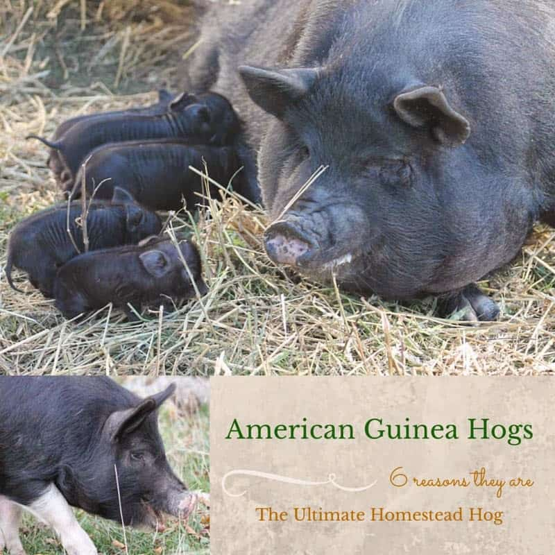 6 reasons to add American Guinea Hogs to your homestead