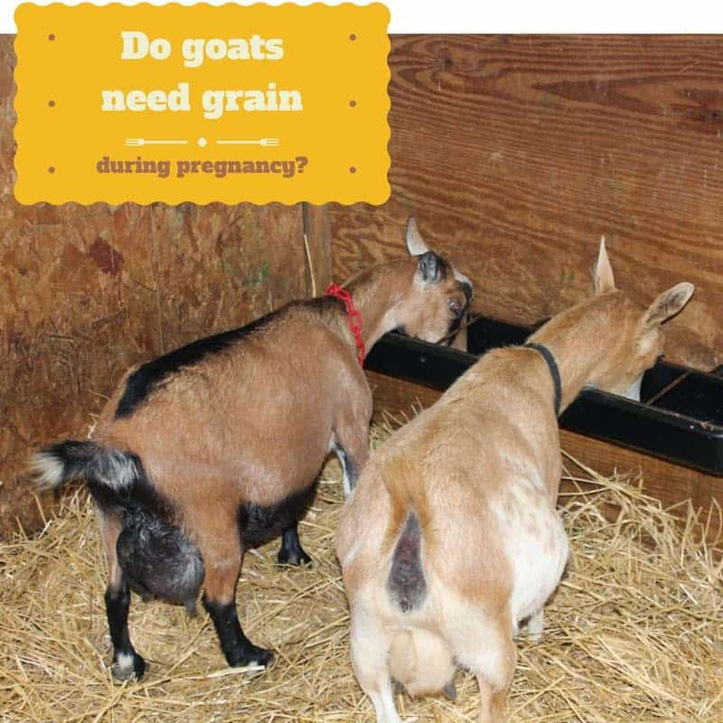 goats eating grain during pregnancy