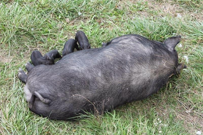 American Guinea Hogs