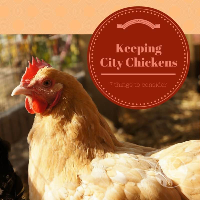 Keeping City Chickens