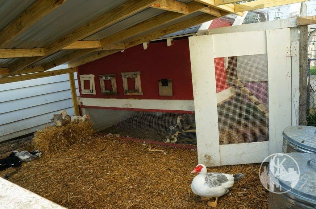 inside the chicken coop