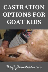 castration option for goat kids
