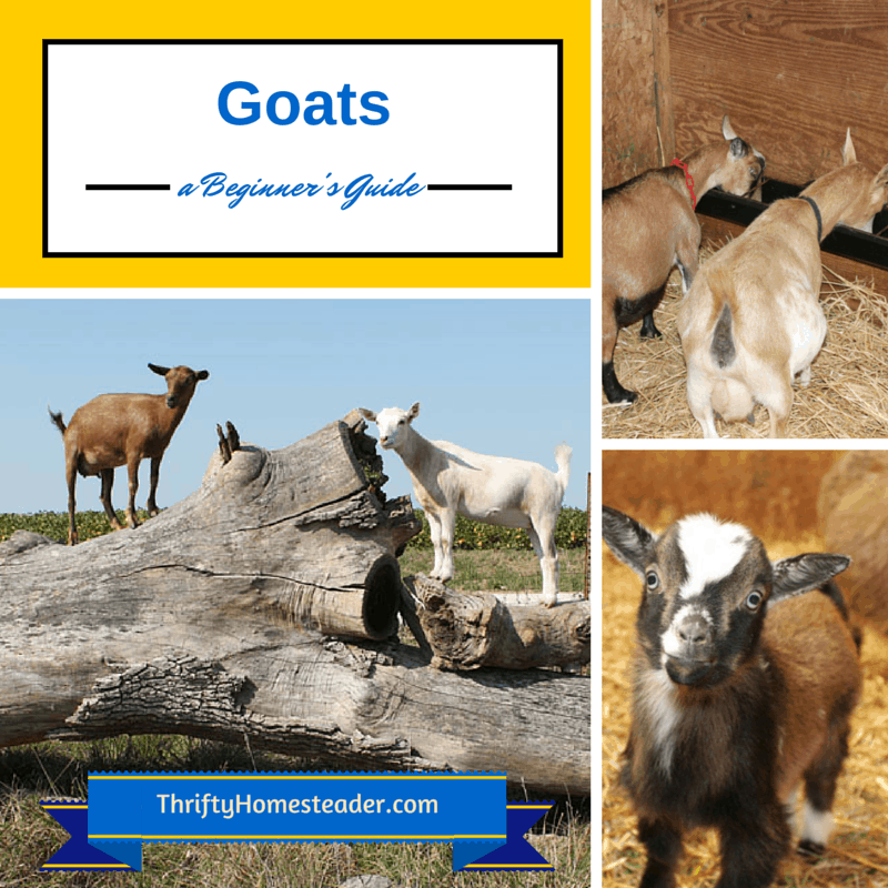 A Beginner's Guide to Goats