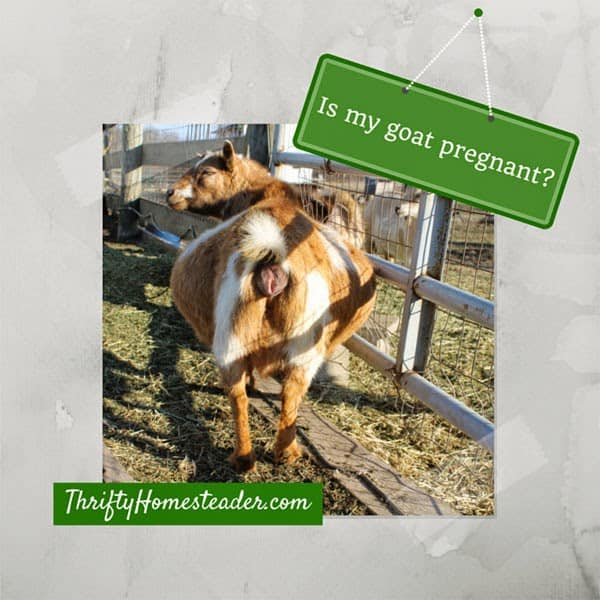 Is my goat pregnant?