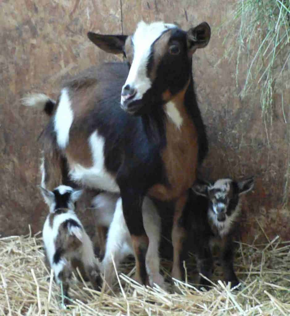 female goat and kids