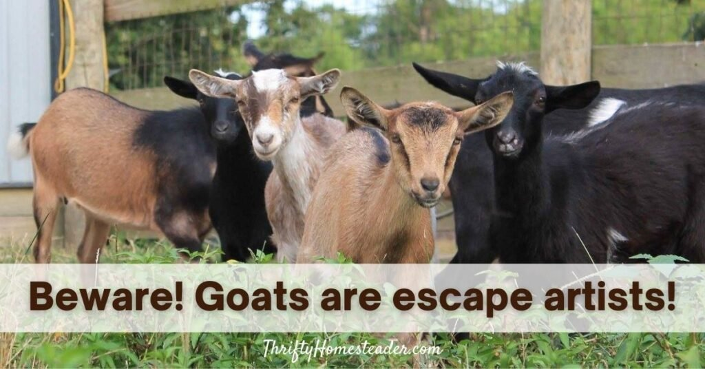 Beware! Goats are escape artists