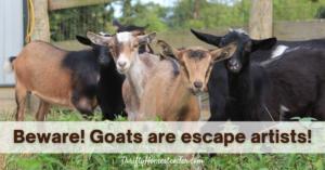 Goats are escape artists