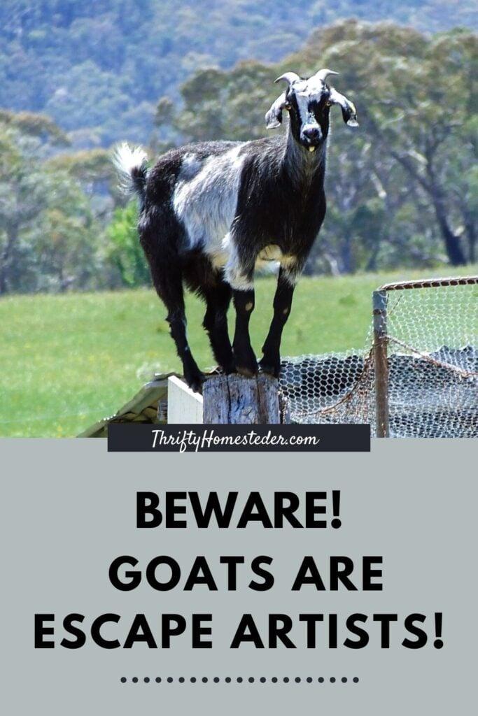 Goats are escape artists!