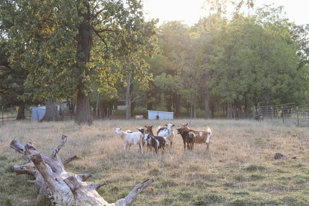 Escape Artist Goats