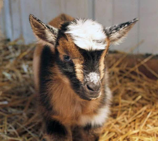 Thinking about homesteading or raising goats?