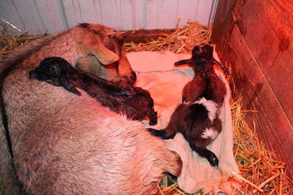 Raising Goats Naturally webinar
