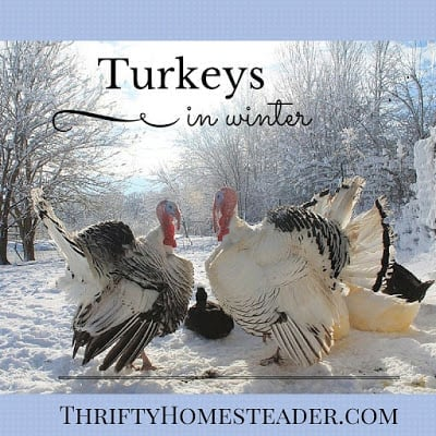 Turkeys in winter
