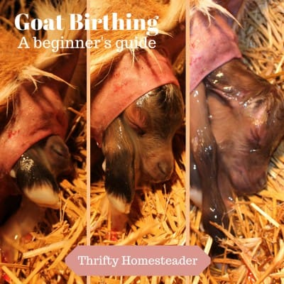Goat Birthing (or Kidding): A Beginner's Guide
