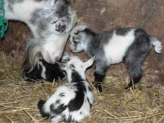 Goat kids