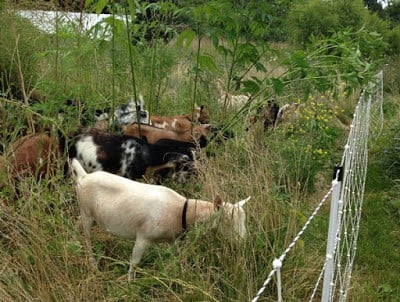 rotational grazing of goats