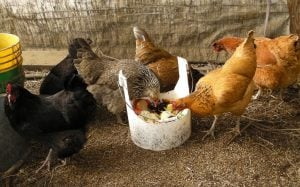 The Allen's chickens enjoy their dinner.