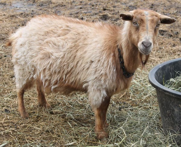 Contributors needed for study of goats and copper