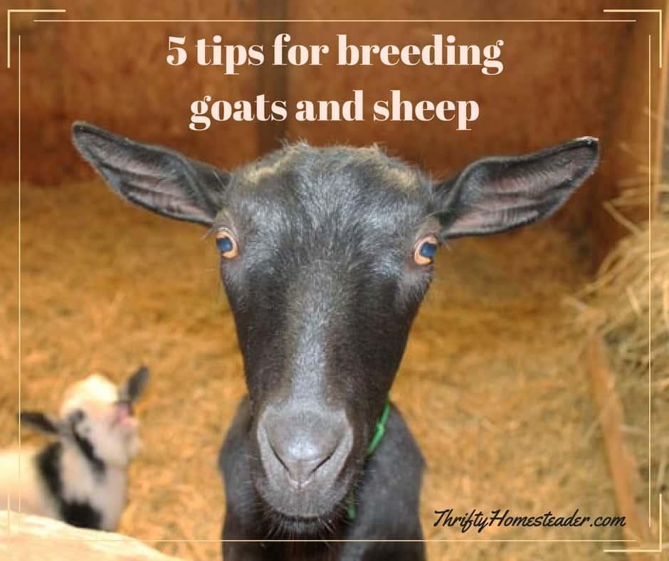 breeding goats and sheep